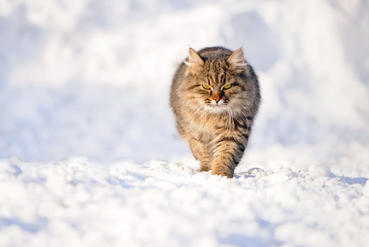 Aldan Siberian Cattery